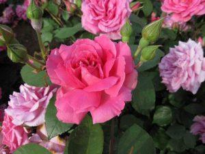 哪些花卉的花香对人有益健康?