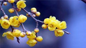 盆栽蜡梅的养殖方法和注意事项