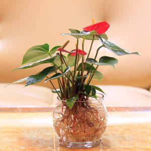 适合水养的室内植物
