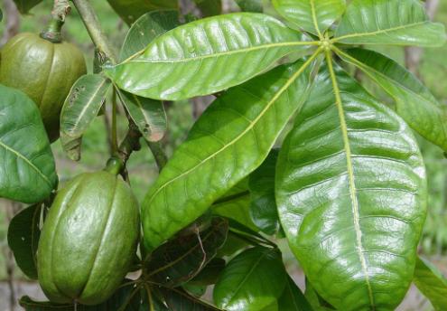 发财树果实和树叶可以吃吗