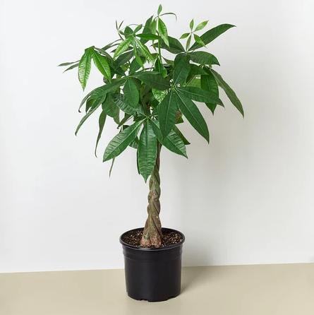发财树的养殖方法和注意事项相关问题