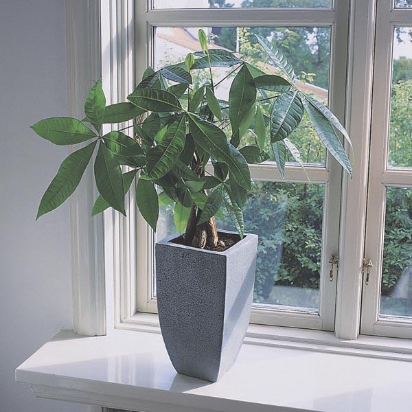 如何正确养护室内发财树盆景怎么养