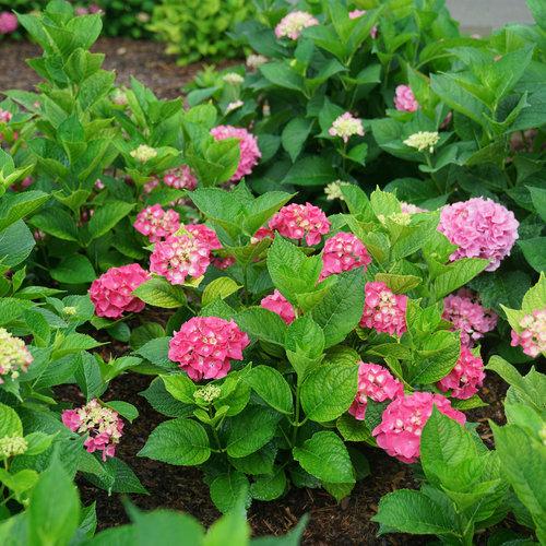 绣球花的养殖浇水方法